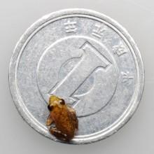 タゴガエルのオタマジャクシ