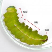 ヤママユ幼虫