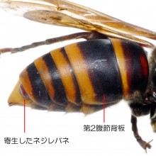 コガタスズメバチ