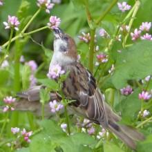ミゾソバの花に群がるスズメ