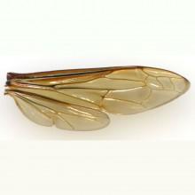 オオスズメバチの翅