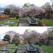 2015年のサクラ開花(2)