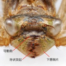 オニヤンマの羽化殻