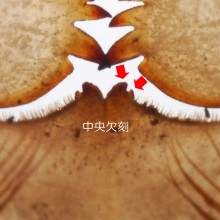オニヤンマ羽化殻