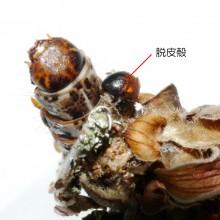 ニトベミノガのミノムシ