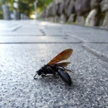 アカスジツチバチ