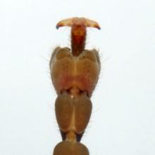 クビキリギス