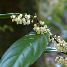 イズセンリョウの花