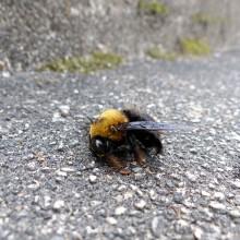 クマバチの雌雄