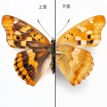 コムラサキ