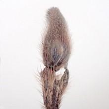 コアシダカグモ