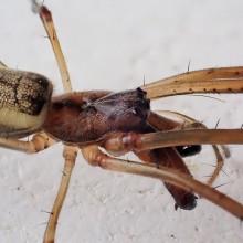 アシナガグモ