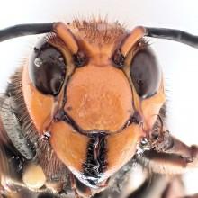 オオスズメバチ♂
