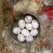 シジュウカラの卵