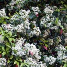 カナメモチの花