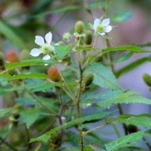 コジキイチゴ花
