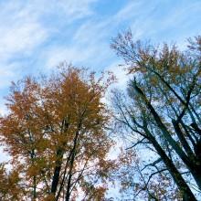 カツラ黄葉