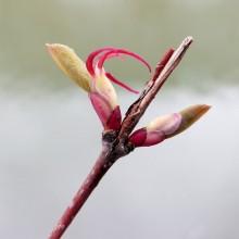 カツラの雌花
