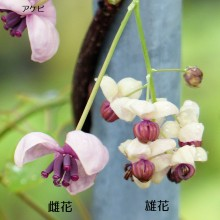 アケビとミツバアケビの花