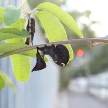 アケビコノハ幼虫