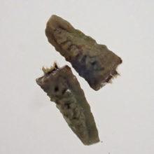 アメリカタカサブロウの種子