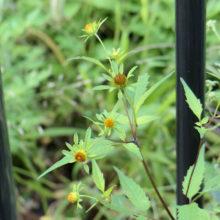 アメリカセンダングサの花