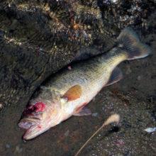 取り残された魚