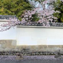 散ったサクラ(南禅寺)