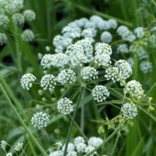 ドクゼリの花