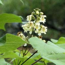 キササゲ花