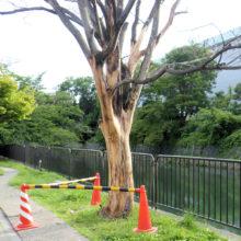 サクラ枯木