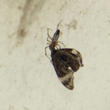 ガを捕らえたクモ