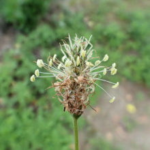 ヘラオオバコ花穂