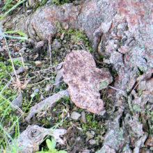 サクラ樹皮