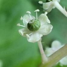 ヨウシュヤマゴボウの花