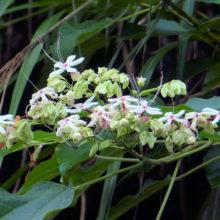 クサギの花