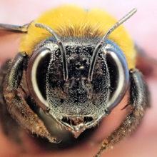 クマバチ♀