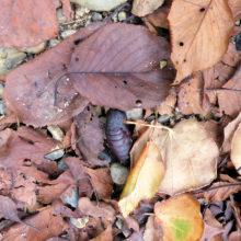 スズメガ蛹