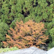 エノキ黄葉