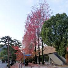 モミジバフウ紅葉