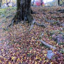 エノキ落葉