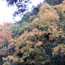 コナラ黄葉