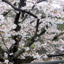 ソメイヨシノ(岡崎)