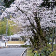 ソメイヨシノ(南禅寺)