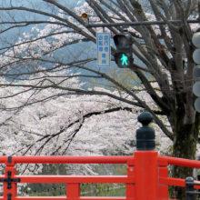 慶流橋とサクラ