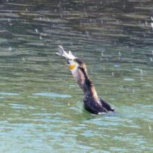 魚を飲み込むカワウ