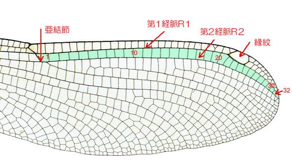 アサヒナカワトンボ♀の横脈数