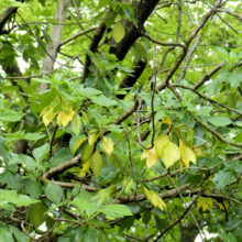 カクレミノ黄葉