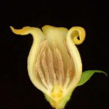 カキの雄花