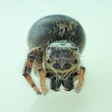 ジガバチがくわえていたクモ